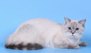 Kedi Sahiplendirme Yöntemleri Ve Scottish Straight Kediler